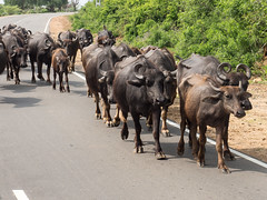 _B095628 Water buffaloes on the road.jpg (JorunT) Tags: rundreise yala vannbøffel bubalusbubalis srilanka2016 nasjonalpark