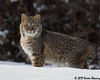 Afternoon Hunt!! (Doreen Bequary) Tags: winterscene bobcat snow connecticut cat d500 afs200500mm bigcat carnivore eye depthoffield animal