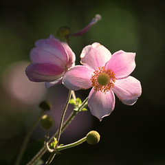 Japanese Anemones (mclcbooks) Tags: flower flowers floral denverbotanicgardens colorado japaneseanemones backlighting backlight backlit