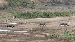 Black Rhinos (Diceros bicornis minor) in Black iMfolozi riverbed ... (berniedup) Tags: blackrhino dicerosbicornisminor rhinoceros rhino taxonomy:trinomial=dicerosbicornisminor taxonomy:binomial=dicerosbicornis dicerosbicornis sontuliloop imfolozi hluhluweimfolozi