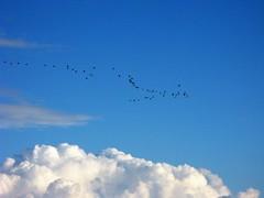 Where the sky is blue (alex.gb) Tags: cormorant blue sky high cloud line flying bird black is wheretheskyisblue cickcamera