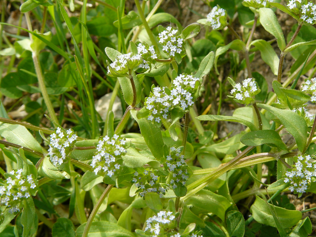 Valerianella locusta