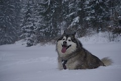 All Smiles (grisswife) Tags: explore smile snowing snow dog malamute