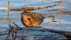 """Hang on"" (Bob Gunderson) Tags: alamedacounty arrowheadmarsh birds california eastbay northerncalifornia rails ralluslongirostris ridgwaysrail birdperfect"