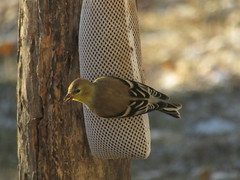 American Goldfinch (Snapshots by JD) Tags: goldfinch american oklahoma westville