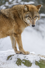 Wold proudly standing (Tambako the Jaguar) Tags: standing posing rock stone portrait wild brown mongolian canine canid dog winter snow cold zürich zoo switzerland nikon d5