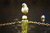 Balancing Act (Sarah Fraser63) Tags: sliderssunday gull bird carshaltonponds