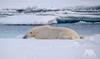 Resting Polar Bear (fascinationwildlife) Tags: animal mammal predator polar bear eisbär bär resting ice snow cold drift float male summer wild wildlife nature natur ocean sea spitsbergen spitzbergen svalbard north