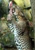 shrillankan panther Burgerszoo JN6A9948 (j.a.kok) Tags: burgerszoo panter luipaard panther leopard shrilankanpanther shrilankanleopard shrilankapanter pantheraparduskotya cat kat mammal predator shrilanka azie asia