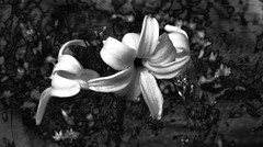 Hyacinth flowers (*Millie* (Catching up slowly)) Tags: hyacinth hyacinths flower hyacinthus white blackandwhite monochrome texture topaztextureeffects amateurphotography canon canonsx50 darkness flowers inspiredbylove leaves lightandshadow nature outdoor pennsylvania plant saveearth