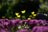 不期而遇 (Diego Chiu) Tags: 桃源仙谷 鬱金香 秋菊 fe70200mmf28gm bokeh flower tulips sel70200gm sony gmaster