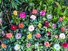 Various colors of roses (hastuwi) Tags: batu jawatimur indonesia idn eastjava kekep selecta rose kembang bunga
