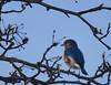 bluebird (Anne Davis 773) Tags: 2017365 8365 bluebird maxell
