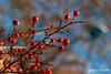 Invierno (jesus pena diseño) Tags: jpena jpenaweb jesuspenadiseño colour weather winter flower scenery rural red nature tree macro garden spain madrid