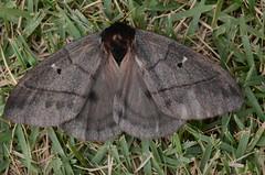 Dirphia sp Help ID (robertoguerra10) Tags: lepidoptera mariposa moth dirphia saturniidae bombycoidea preta grande big black marrom escuro dark brown gigante borboleta
