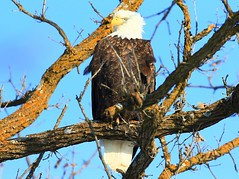 bald eagle near Lime Springs IA 854A4630 (lreis_naturalist) Tags: bald eagle lime springs howard county iowa larry reis