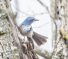 Over-There. (Omygodtom) Tags: outdoors scrubjay bokeh bird blue nikkor diamond star pacificgrove natural nature nikon branch d7100 selectivefocus wild wildlife 70300vr vr