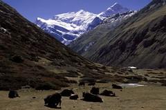 TREKKING ANNAPURNA.....[Explore] (lupus alberto) Tags: nepal himalaya circuitoannapurna yak ghiacciaio