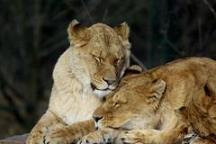 African Lions (K.Verhulst) Tags: afrikaanseleeuwen africanlions lions leeuwen cats cat beeksebergen safaripark safariparkbeeksebergen tilburg hilvarenbeek
