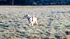 Charlie 38 weeks old (Mark Rainbird) Tags: dog powershots100 canon retriever uk puppy charlie burghfieldcommon england unitedkingdom gb