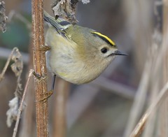 Goldcrest (KHR Images) Tags: goldcrest regulusregulus wild bird fendraytonlakes rspb cambridgeshire wildlife nature nikon d500 kevinrobson khrimages
