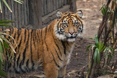 Debbie (ToddLahman) Tags: debbie joanne teddy sumatrantiger tigers tiger tigertrail tigercub exhibita sandiegozoosafaripark safaripark mammal outdoors escondido portrait eyelock