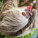 Hoffmann's two-toed sloth Gamboa Wildlife Rescue pandemonio 2017 - 26