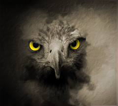 Mystic Warrior.. (A.J.Pendleton-Lightbox 2008 (On and Off)) Tags: birdofprey raptor warrior mystic nature wildlife