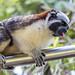 Geoffroy's tamarin monkey - wild titi monkeys gamboa panama pandemonio 2017 - 24