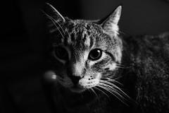 Jackson, March 24, 2017 (Maggie Osterberg) Tags: olympus penf zuiko171718 maggieo lincoln nebraska cats jackson bw blackwhite olympusmzuikodigital17mmf18