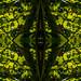 Klorofylla-øye