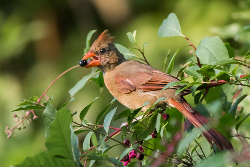 Northern Cardinal feeding on Pokeweed berries