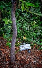 Pecan Nut Tree (Jo-We Got Rain-Yippee!!!) Tags: britain great nurseryrhyme takeaim ihadalittlenuttree fromthebritishisles