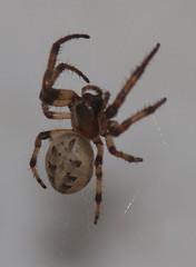 furroworbweaver-CMMP-H10-6-13-12-tl-1-cropscreen-lowres (pomarinejaeger) Tags: spider newjersey larinioidescornutus furroworbweaver