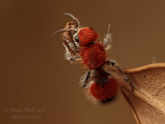 Velvet Ant (Sean McCann (ibycter.com)) Tags: