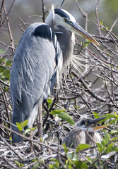 GREAT BLUE HERON AND CHICK (concep1941) Tags: town outdoor beaches wildbirds heronfamily saltandfreshwater