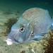 The other bluey - Blue morwong - Nemadactylus douglasii #marineexplorer