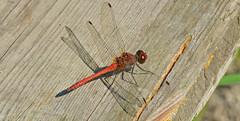 Blutrote Heidelibelle, Sympetrum sanguinieum (staretschek) Tags: libelle sympetrumsanguineum blutroteheidelibelle segellibelle rotelibelle groslibelle