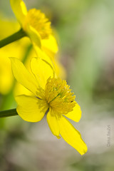 Kingcup (Darius Bauys) Tags: plant flower macro nature yellow caltha kingcup palustris puriena pelkin