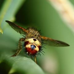 Butt Ugly (clint.mason_sa) Tags: hairy macro insect fly butt ugly johannesburg