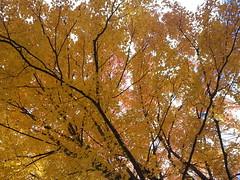 20151017_125522 (plussed) Tags: autumn fall maple foliage acer sugarmaple saccharum fall2015