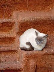 Judy, the new. (bego vega) Tags: madrid pet animal cat gato judy vega mascota vf gatita bv bego siams