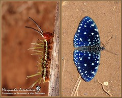 Metamorfose - Hamadryas laodamia (Nymphalidae) (Marquinhos Aventureiro) Tags: brazil brasil butterfly wildlife natureza caterpillar vida borboleta floresta lagarta metamorphose selvagem hamadryas nymphalidae laodamia hx400
