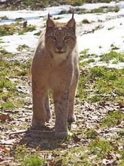 A winter photo of the Eurasian lynx. (Bienenwabe) Tags: winter lynx luchs felidae eurasianlynx lynxlynx eurasischerluchs