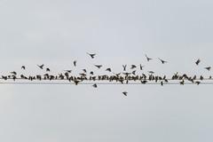 With space to spare (pakerholm) Tags: starling stare sturnusvulgaris sigma150600 sigma150600f563dgsports sigma150600mmf563 sigmasport sigma 150600 600 ornithology birdwatchingnikon d600 d610 nikond600 nikond610 fullframe fullformat birds bird fågel fåglar linnut lintu wildlife animals vildadjur pörtom finland österbotten suomi pirttikylä ostrobotnia pohjanmaa nordiccountries norden summer
