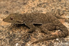 Rhoptropus bradfieldi - Bradfields' Namib Day Gecko. (Tyrone Ping) Tags: gecko namibia namib hentties bay africa southern herping desert fieldherping canon7d 100mmmacrof28 macro closeup explore tyroneping wwwtyronepingcoza close up cute herps herpetology