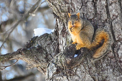 the acorn lover (christiaan_25) Tags: squirrel easternfoxsquirrel foxsquirrel sciurusniger treesquirrel rodent mammal animal fur furry fuzzy brown head eyes stare acorn feet paws tree limb branch snow nature sky blue woods forest wildlife outside outdoor outdoors