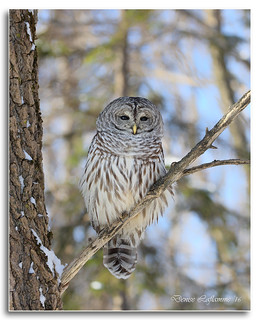 1E1A8936-Dl   -   Chouette rayée / Barred Owl.