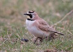 Horned Lark (sbuckinghamnj) Tags: hornedlark songbird lark texas canadiantexas
