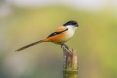 Long-tailed Shrike / কালো মাথার কসাই পাখি / ল্যাঞ্জা লাটোরা (ahmedezaz76) Tags: longtailed shrike কালো মাথার কসাই পাখি ল্যাঞ্জা লাটোরা wild wildbird bangladesh natural outdoor beauty canon7d tamron150600mm